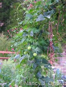 Cardiospermum halicacabum with 'Red Noodle' beans and Ipomoea x multifida