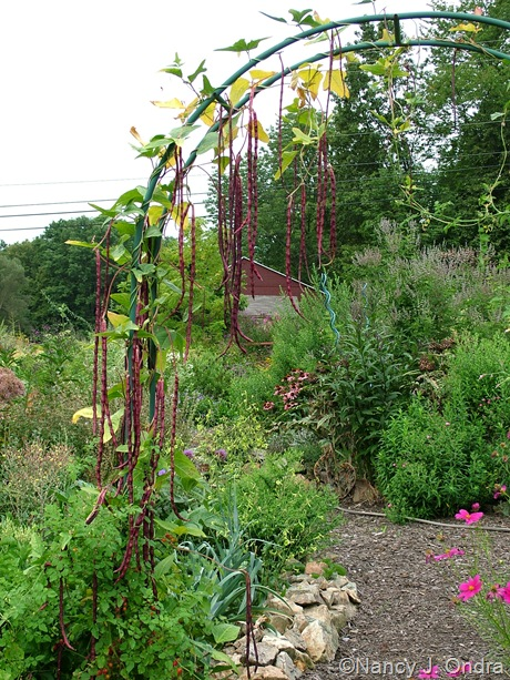 Yardlong bean 'Red Noodle' (Vigna unguiculata)