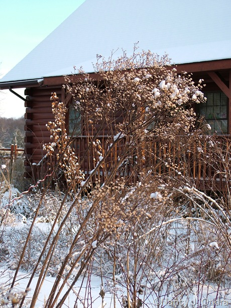 Vernonia seedhead in snow