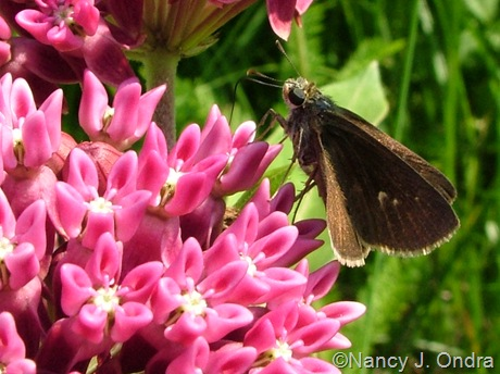 Skipper on Asclepias purpurascens