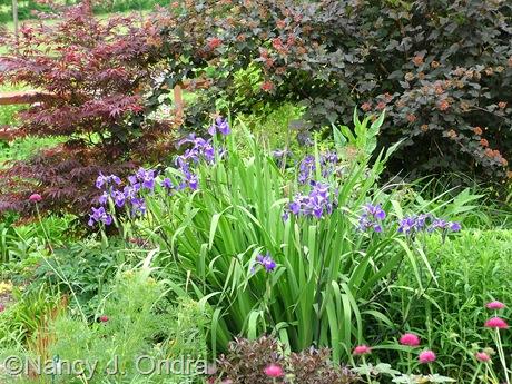 Iris 'Gerald Darby' at Hayefield [Nancy J. Ondra/nancyjondra.com]