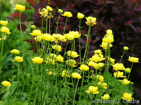 Trollius x cultorum 'Lemon Queen' against Cotinus 'Grace'