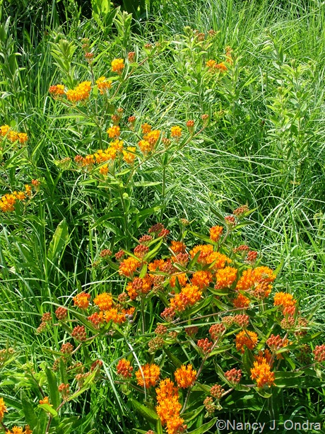 Asclepias tuberosa in sand mound meadow at Hayefield