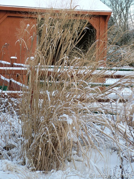 Panicum virgatum 'Cloud Nine' in snow
