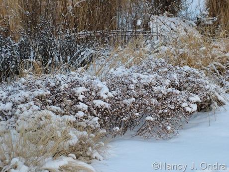 Symphyotrichum oblongifolium in snow