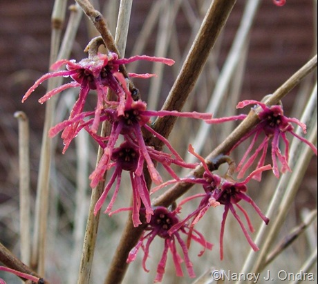 Hamamelis vernalis 'Washington Park' ('Purpurea')