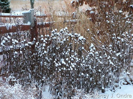 Echinacea purpurea seedheads in snow