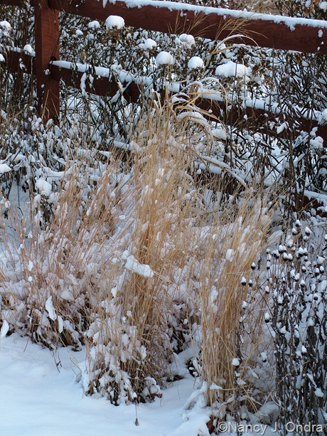 Schizachyrium scoparium in snow