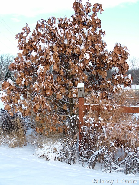 Quercus dentata in snow
