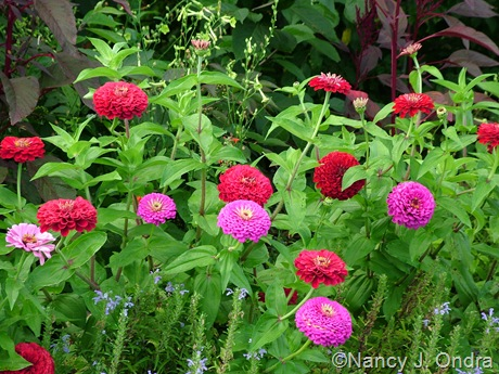 Zinnia 'Berry Basket Mix'