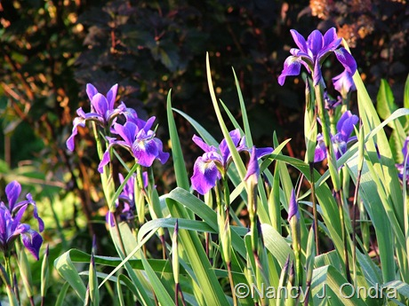 Iris 'Gerald Darby' at Hayefield