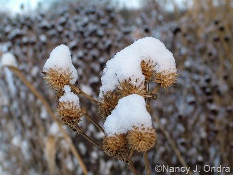 Eryngium yuccifolium in snow
