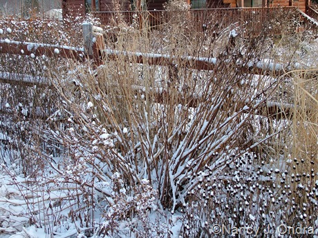 Persicaria polymorpha in snow