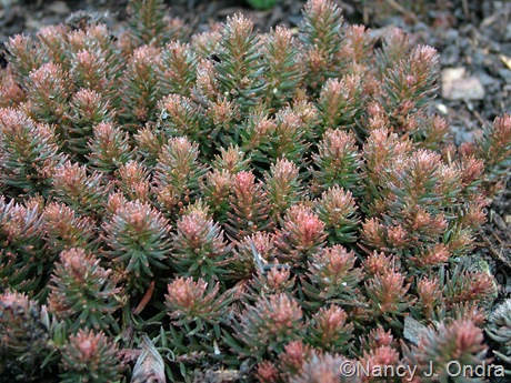 Sedum 'Chocolate Ball'