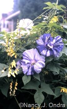 Ipomoea 'Tie Dye' and Mina lobata 'Citronella' in Ondra garden Emmaus