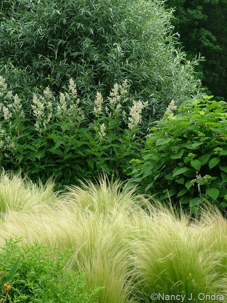 Stipa tenuissima with Persicaria polymorpha and Salix alba var. sericea