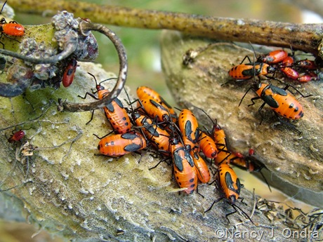 Milkweed beetle nymphs on Asclepias syriaca pods