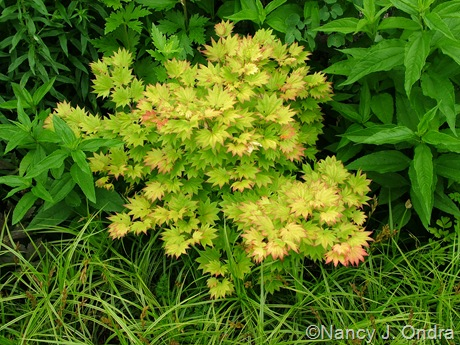 gorgeous golden shrubs part 3 hayefield. Black Bedroom Furniture Sets. Home Design Ideas