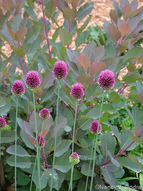 Allium sphaerocephalon against Cotinus 'Grace' at Hayefield.com