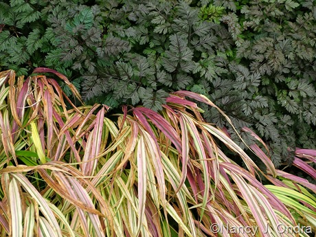 Hakonechloa macra 'Aureola' with Anthriscus sylvestris 'Ravenswing'