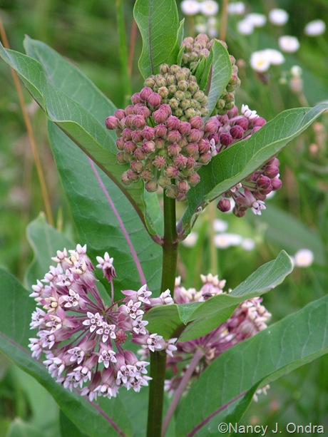 Asclepias syriacus 3 June 19 07