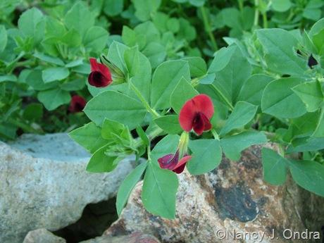 Tetragonolobus purpurea or Lotus tetragonolobus (asparagus pea)