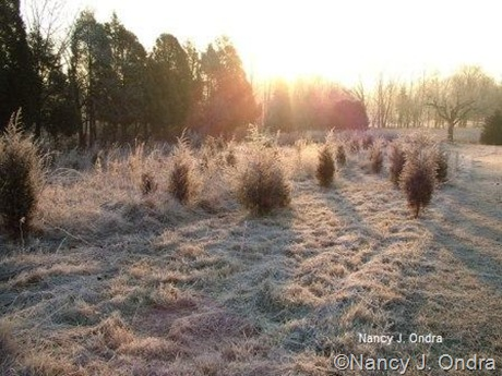 Frost on the meadow