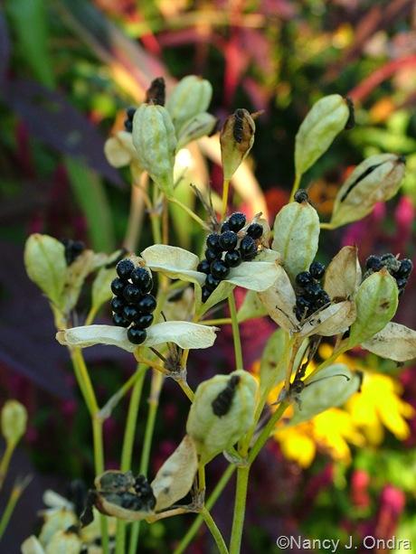 Belamcanda chinensis seeds