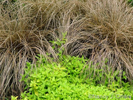 Carex 'Toffee Twist' with Veronica prostrata 'Aztec Gold'