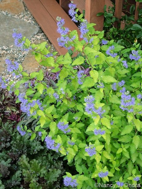 Caryopteris incana 'Jason' (Sunshine Blue)