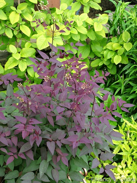 Clematis recta Serious Black ('Lime Close')