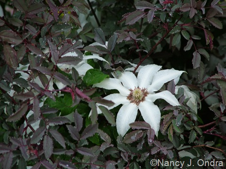 Clematis seedling with Rosa glauca