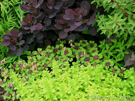 Cotinus coggygria 'Velvet Cloak' with Oxalis tetraphylla 'Iron Cross' and Origanum vulgare 'Aureum'