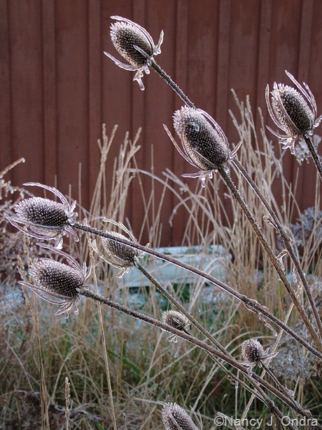 Dipsacus seedheads on ice