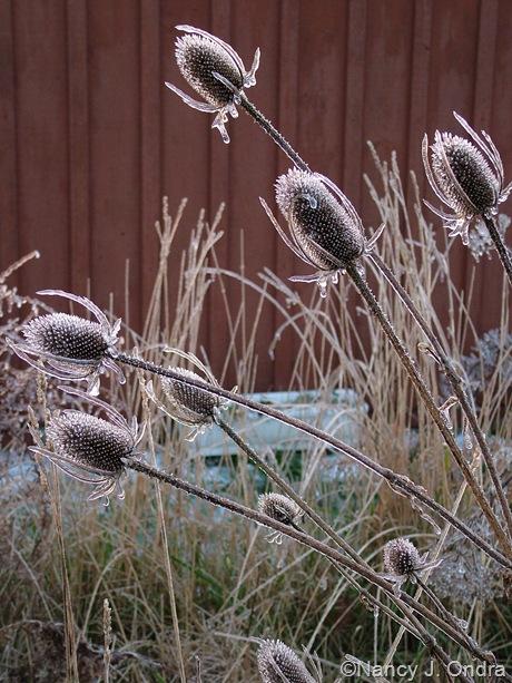 Dipsacus seedheads on ice