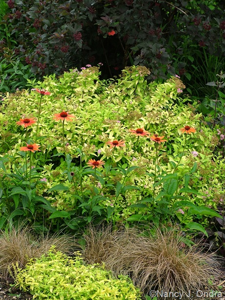 Spiraea 'Gold Mound' with Echinacea 'Evan Saul', Carex 'Toffee Twist', Veronica 'Aztec Gold', and Physocarpus Diabolo ('Monlo')