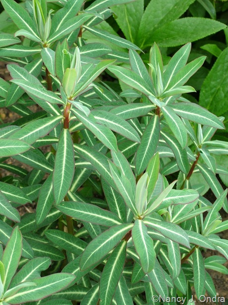 Euphorbia 'Excalibur'