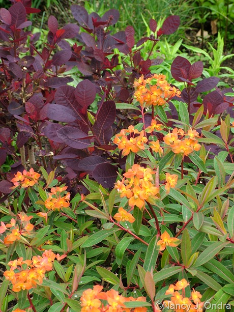 Cotinus coggygria 'Velvet Cloak' with Euphorbia griffithii 'Fireglow'