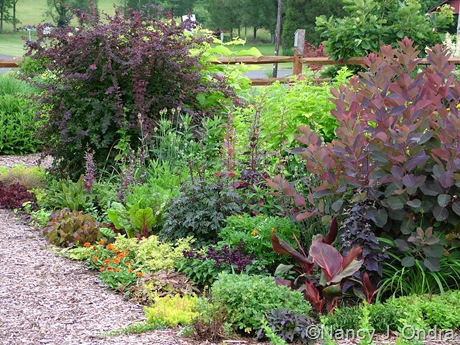 Cotinus 'Grace' and Berberis ottawensis f. purpurea 'Superba' in front garden at Hayefield