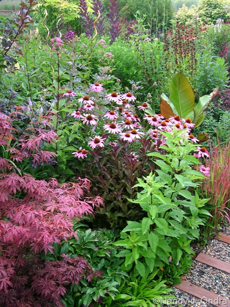 Echinacea purpurea and Weigela Midnight Wine in front garden at Hayefield