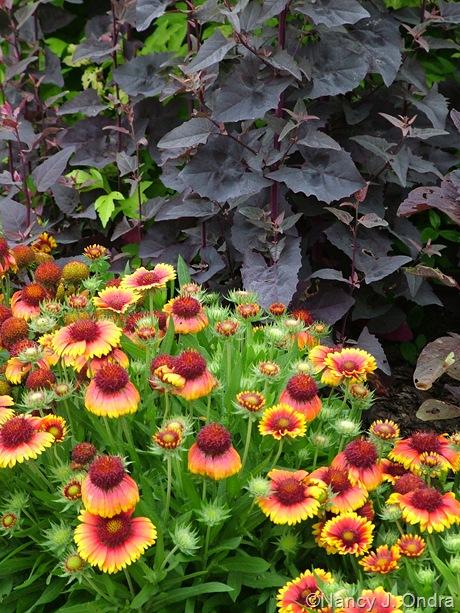 Gaillardia x grandiflora 'Arizona Sun' and Atriplex hortensis 'Rubra'