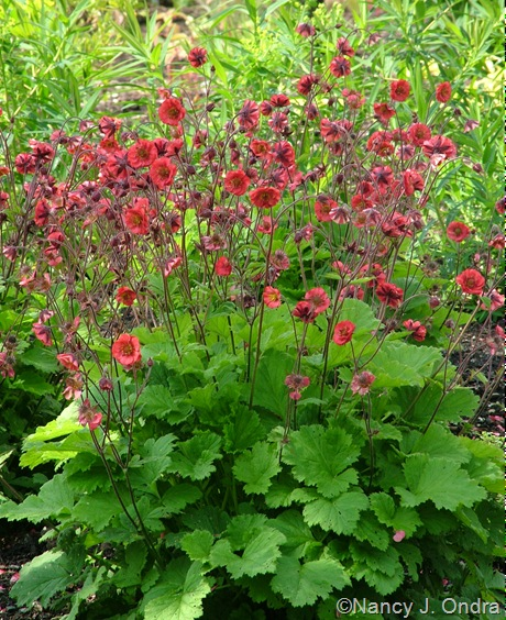 Geum 'Red Dragon'