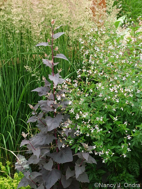 Atriplex hortensis 'Rubra' and Gillenia stipulata and Calamagrostis x acutiflora 'Karl Foerster'