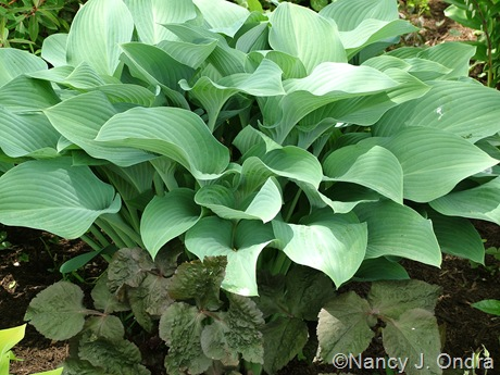 Hosta 'Krossa Regal' with Cryptotaenia japonica 'Purpurea'
