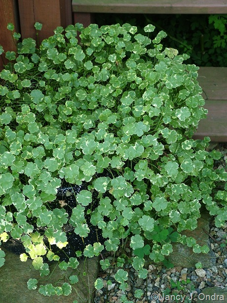 Hydrocotyle sibthorpioides 'Crystal Confetti'