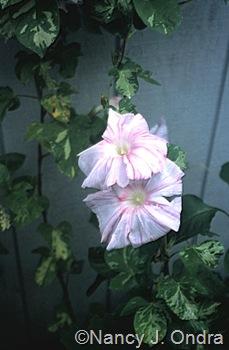 Ipomoea 'Tie Dye' Ondra garden Emmaus