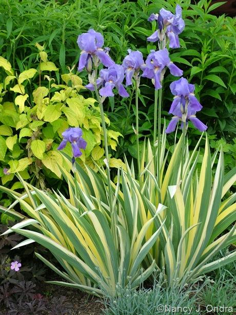 Iris pallida 'Variegata' with Cornus sericea 'Sunshine'