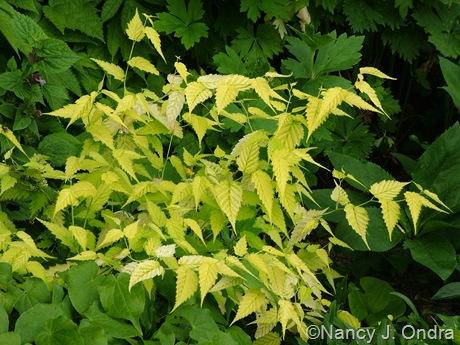 Kerria japonica 'Chiba Gold'