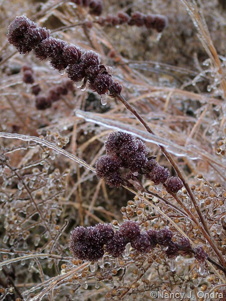 Lespedeza capitata seedheads on ice