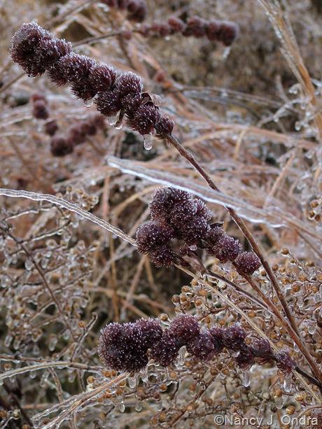 Lespedeza capitata seedheads on ice